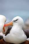 Pair of breeding Albatross