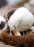 Black browned Albatross on nest