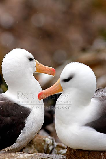 Black-browed Albatross or Black-browed Mollymawk pair at nest (Thalassarche melanophrys, Diomedeidae), Westpoint Island, Falkland Islands stock photo.
