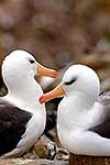 Pair of nesting Albatross