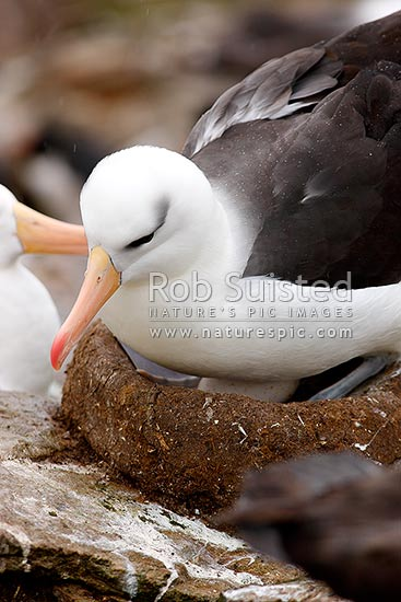Black-browed Albatross or Black-browed Mollymawk sitting on nest (Thalassarche melanophrys, Diomedeidae), Westpoint Island, Falkland Islands stock photo.