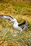 Albatross flapping wings