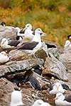 Albatross and penguins nesting