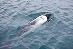 Commerson's dolphin, Falkland Is.