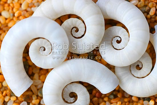 Seashells on sand. Ram's horn shell bouyancy chambers from Ram's horn squid (Spirula spirula, Spirulidae) Kotakota Ngu. Common on New Zealand beaches, New Zealand (NZ) stock photo.