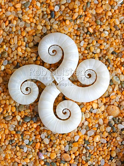 Seashells on sand in pattern. Ram's horn shell bouyancy chambers from Ram's horn squid (Spirula spirula, Spirulidae). Common on New Zealand beaches, New Zealand (NZ) stock photo.