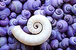 White spiral shell against purple