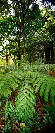 NZ native bush. Tree ferns inside forest. Abstract selective tilt blur focus through centre, vertical panorama, Wellington, New Zealand (NZ) stock photo.
