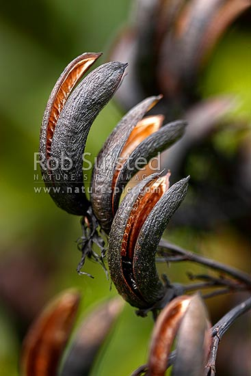 NZ native flax plant seed head open to release seeds (Phormium tenax), New Zealand (NZ) stock photo.