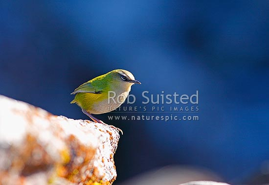 NZ Rock Wren, (Xenicus gilviventris, Acanthisittidae), a small New Zealand native wren restricted to alpine areas in the Southern Alps, Fiordland, New Zealand (NZ) stock photo.