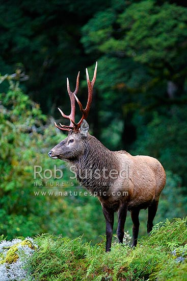 Wild young Wapiti / Red deer cross hybrid bull (Fiordland deer - Cervus elaphus) on bush slip during the rutting season. 10 point antlers, Fiordland National Park, Southland District, Southland Region, New Zealand (NZ) stock photo.