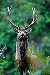 Wild Wapiti deer in NZ