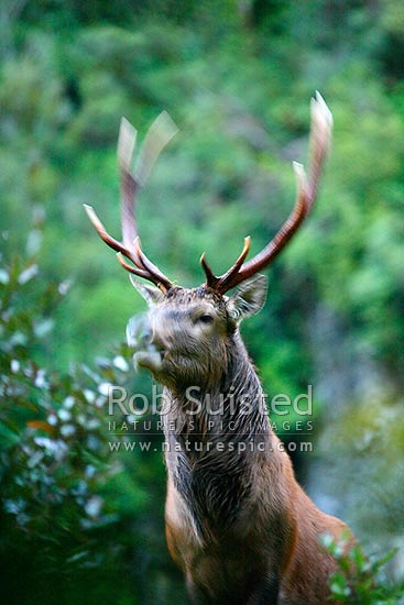 Wild young Wapiti / Red deer cross hybrid bull (Fiordland deer - Cervus elaphus) on bush slip during the rutting season. 10 point antlers. Movement with bull barking, Fiordland National Park, Southland District, Southland Region, New Zealand (NZ) stock photo.