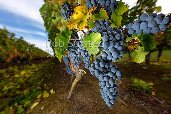 Grapes hanging on vines. Ripe Cabernet Sauvignon grape variety fruit bunches in vineyard ready for harvest. Autumn colours, Martinborough, South Wairarapa District, Wellington Region, New Zealand (NZ) stock photo.