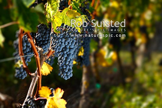 Grapes hanging on vines. Ripe Cabernet Sauvignon grape variety fruit bunches in vineyard ready for harvest. Autumn colours, Martinborough, South Wairarapa District, Wellington Region, New Zealand (NZ).