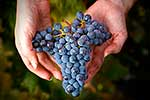 Fresh picked wine grapes