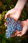 fresh harvested wine grapes