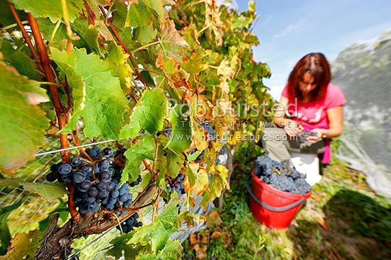 Harvesting the grapes from the vines