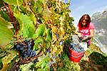 Harvesting grapes during Autumn