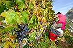 Harvesting grapes from the vines