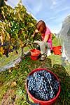 Grapes being harvested from vines