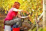 Harvesting grapes in Autumn