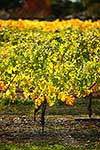 Golden autumnal colours on the vine
