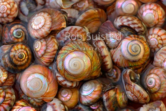 NZ Wheel shell (Zethalia zelandica; Trochidae: Umboniinae), native univalve mollusc seashells found on beaches, Moeraki, New Zealand (NZ) stock photo.
