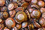 Cluster of NZ mollusc