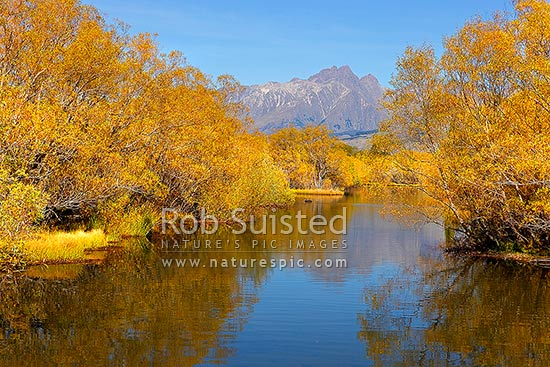 Willow tree lined wetland and ponds in autumn colours, with black swan, Glenorchy, Queenstown Lakes District, Otago Region, New Zealand (NZ) stock photo.