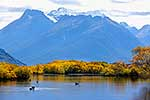 Black swans feeding on lake, Glenorchy