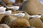 White fronted tern sitting on rocks