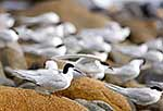 White fronted tern on rocks
