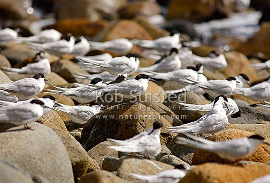 White-Fronted Terns (Tara, Sterna striata), adult bird amongst flock roosting on coastal rocks, New Zealand (NZ) stock photo.