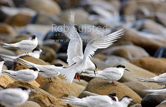 White-Fronted Terns (Tara, Sterna striata), adult bird landing amongst flock roosting on coastal rocks, New Zealand (NZ) stock photo.