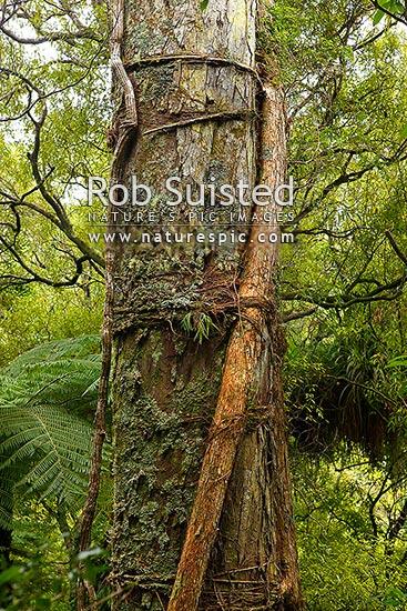 Large Rimu Tree Dacrydium Cupressinum In Forest With