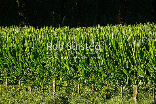 Maize field. Agricultural of maize or corn plants, Mangaweka, New Zealand (NZ) stock photo.