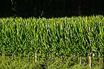 Maize growing in field