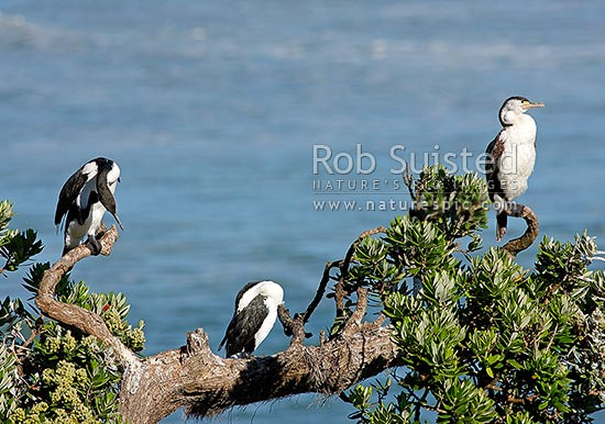 Pied shags or cormorants in roost tree (Phalacrocorax varius), Coromandel, New Zealand (NZ) stock photo.