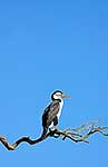 Pied Shag roosting in tree on coast