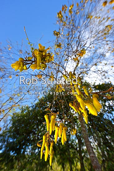 Kowhai Flowers An Iconic New Zealand Native Flowering