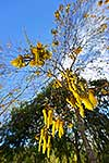Native Kowhai flowers in Springtime