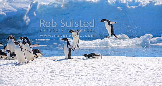 Adelie penguins group jumping high out of the water above pack ice floe (Pygoscelis adeliae), Commonwealth Bay, Antarctica Region, Antarctica stock photo.
