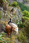 Wild goats on hillside