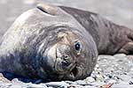 Juvenille Southern Elephant Seal