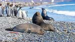 Elephant seals & King Penguins