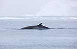 Minke whale surfacing in Antarctica