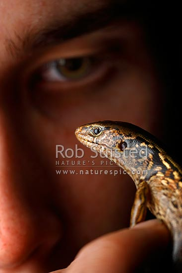 McGregor's skink (Oligosoma macgregori, Scincidae) and human face. Previously known as: Macgregor's skink, Cyclodina macgregori. Very rare NZ endemic endangered species, Mana Island, New Zealand (NZ) stock photo.