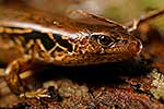 Endangered McGregor's skink