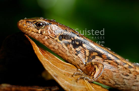 McGregor's skink with raindrops on head (Oligosoma macgregori, Scincidae). Previously known as: Macgregor's skink, Cyclodina macgregori. Very rare NZ endemic endangered species, Mana Island, New Zealand (NZ) stock photo.